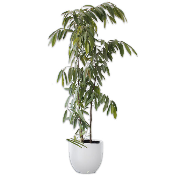 Ficus Allí + Maceta Zuko Blanca