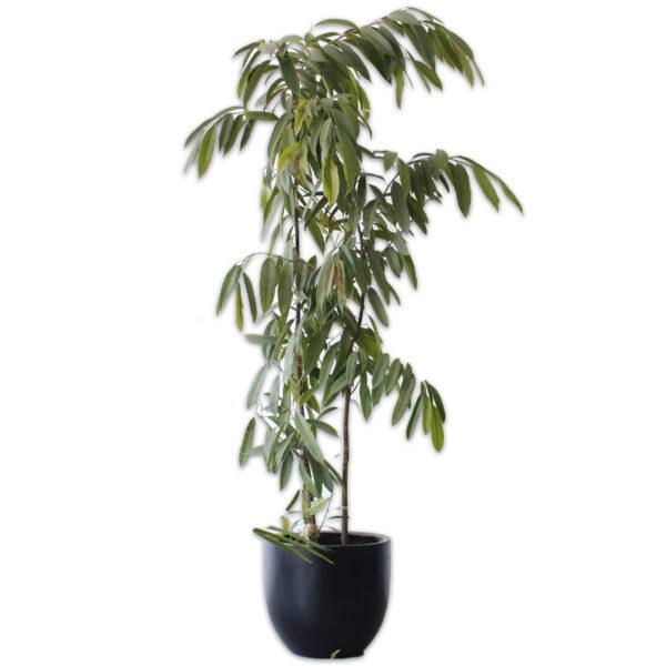 Ficus Allí + Maceta Zuko Negra