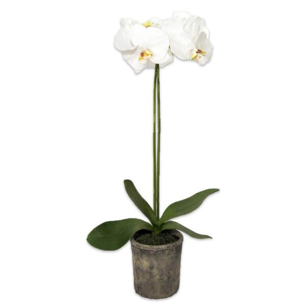 Orquídea Chica